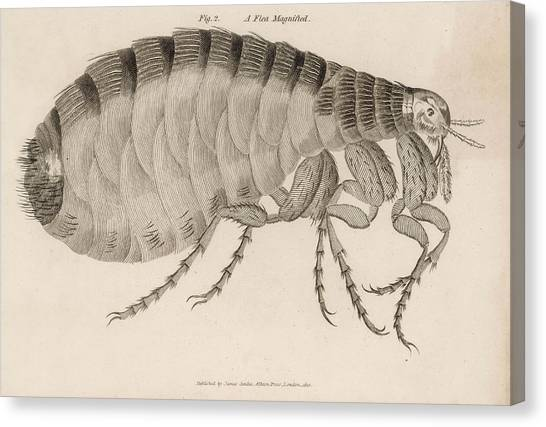 Common Flea (pulex)           Date 1810 Canvas Print by Mary Evans Picture Library