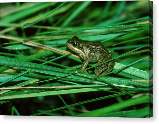 Common Frog Canvas Print by Dr Morley Read/science Photo Library.