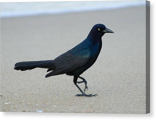 Brian Rock Canvas Print - Common Grackle by Brian Rock