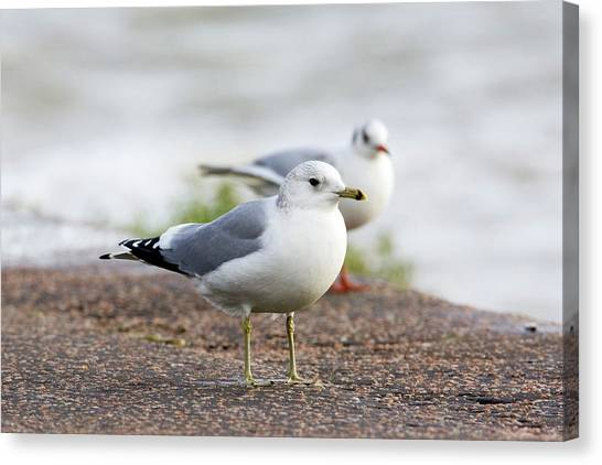 Common Gull And Black-headed Gull Canvas Print by John Devries/science Photo Library