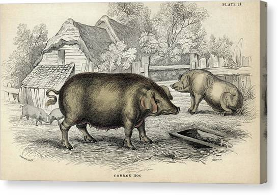 Pig Farms Canvas Print - Common Hog by Natural History Museum, London