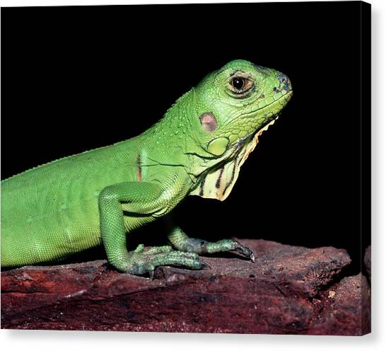Iguanas Canvas Print - Common Iguana by Dr Morley Read/science Photo Library