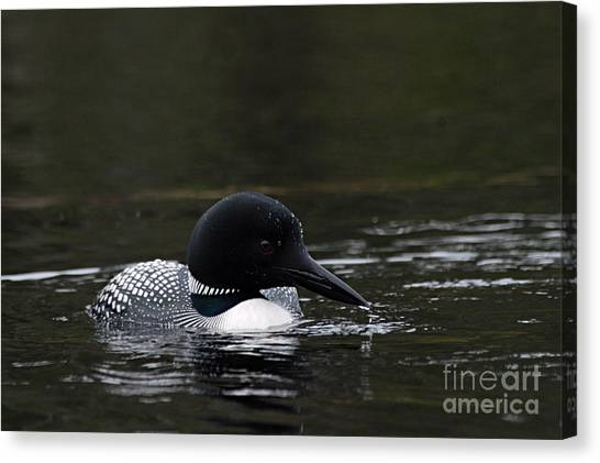 Common Loon 1 Canvas Print