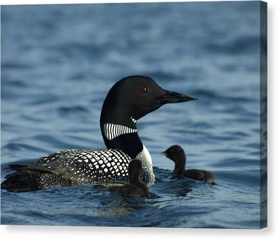 Common Loon Family Canvas Print