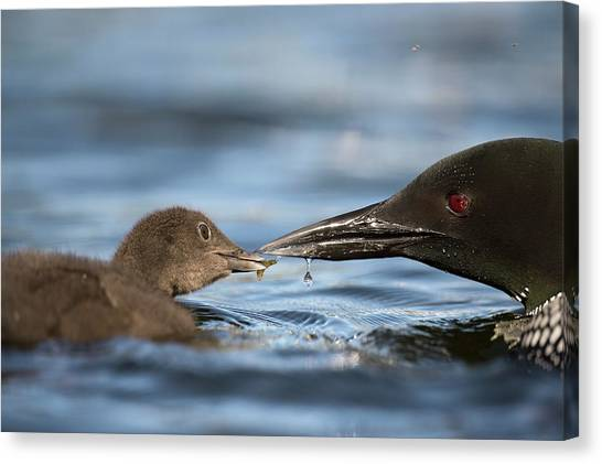 Loons Canvas Print - Common Loon Feeding Chick by Dr P. Marazzi