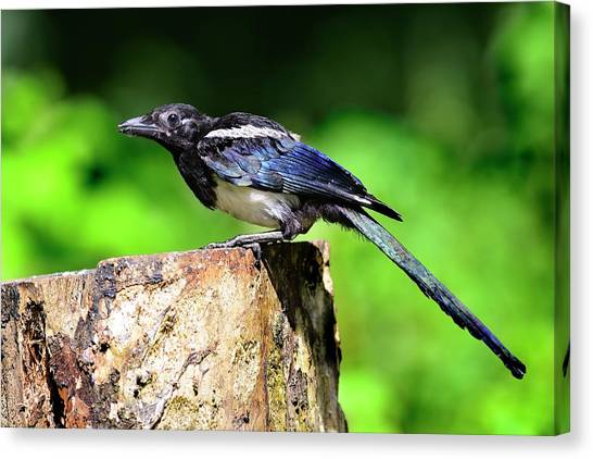 Magpies Canvas Print - Common Magpie by Colin Varndell/science Photo Library