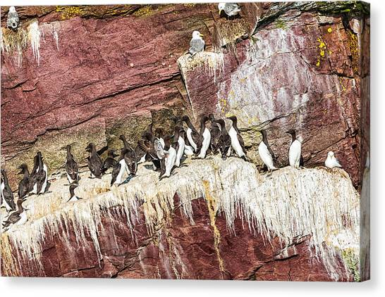 Canvas Print featuring the photograph Common Murres by Perla Copernik
