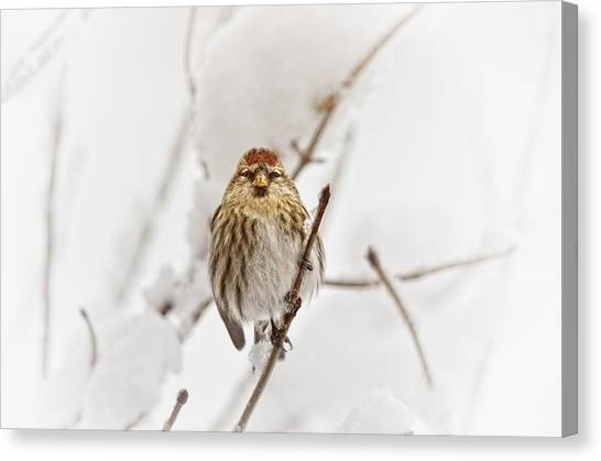 Finches Canvas Print - Common Redpoll by Susan Capuano