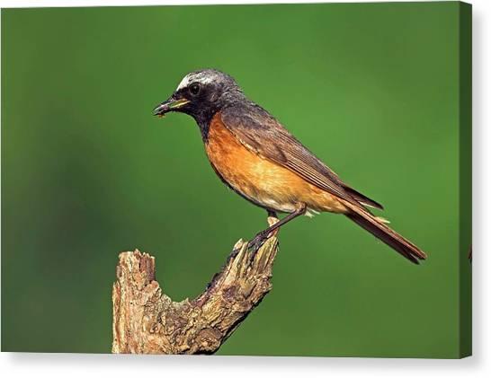 Flycatchers Canvas Print - Common Redstart by Bildagentur-online/mcphoto-schaef