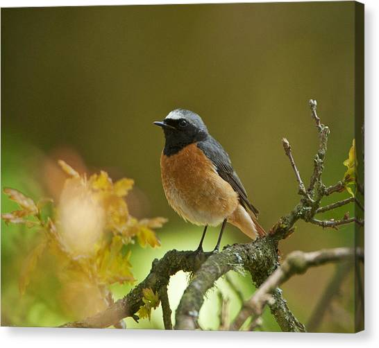Common Redstart Canvas Print by Paul Scoullar