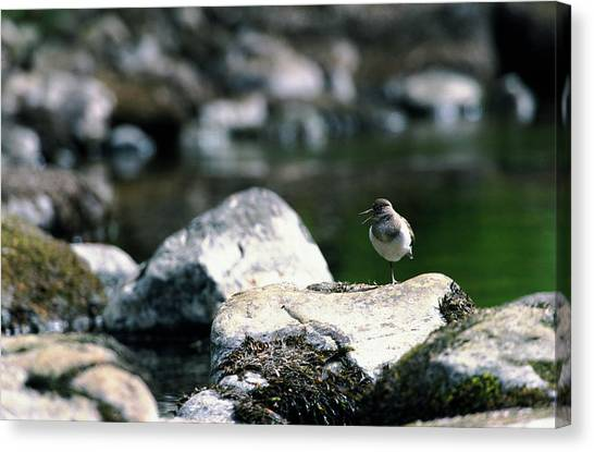 Sandpipers Canvas Print - Common Sandpiper by Leslie J Borg/science Photo Library