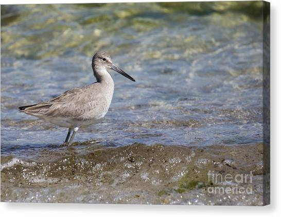 Sandpipers Canvas Print - Common Sandpiper by Twenty Two North Photography
