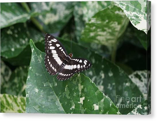 Common Sergeant Butterfly Canvas Print