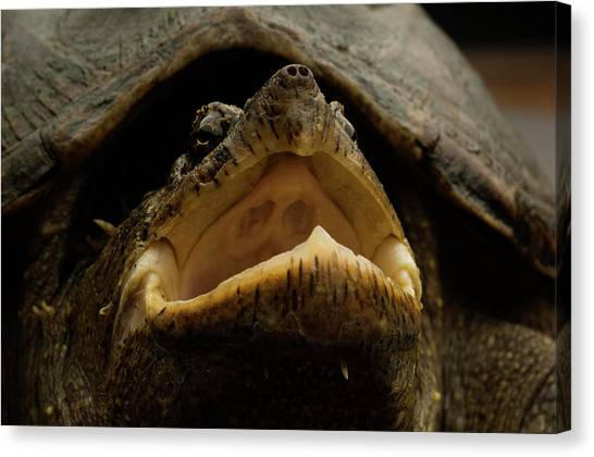 Snapping Turtles Canvas Print - Common Snapping Turtle by Aaron Ansarov