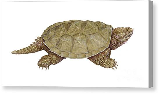 Snapping Turtles Canvas Print - Common Snapping Turtle by Carlyn Iverson