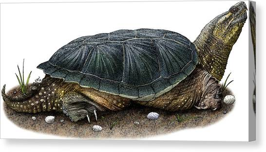 Snapping Turtles Canvas Print - Common Snapping Turtle by Roger Hall