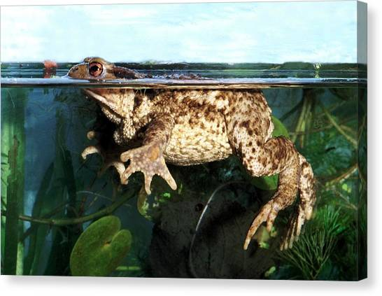 Common Toad Canvas Print by Brian Gadsby/science Photo Library