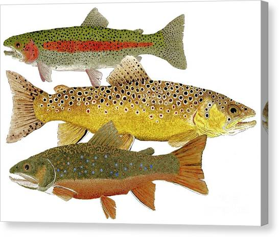 Common Trout  Rainbow Brown And Brook Canvas Print