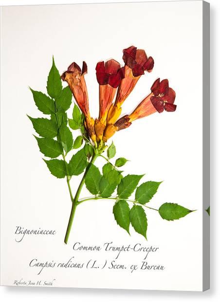 Common Trumpet-creeper 1 Canvas Print