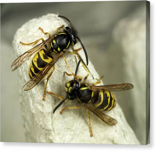 Wasp.insect Canvas Print - Common Wasps by Nigel Downer
