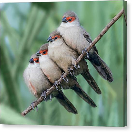 Brunch Canvas Print - Common Waxbill by Cheng Chang
