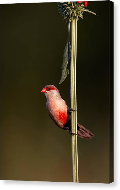 Perching Birds Canvas Print - Common Waxbill by Johan Swanepoel