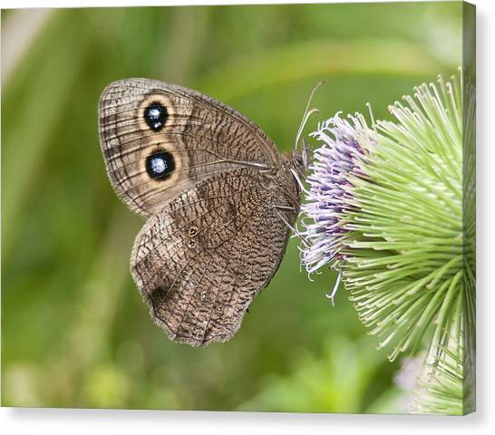 Common Wood-nymph On Thistle Canvas Print