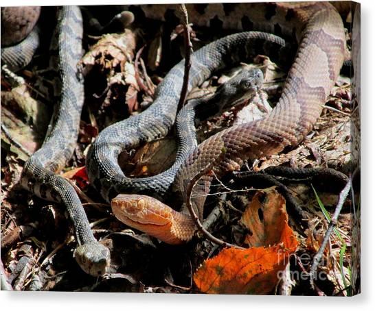 Timber Rattlesnakes Canvas Print - September Serpents by Joshua Bales