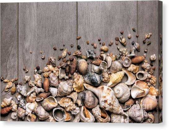Conch Canvas Print - Conchs And Shells by Carlos Caetano