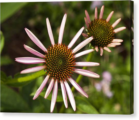 Cone Flower - 1 Canvas Print
