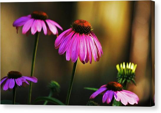 Cone Flower Shines... Canvas Print