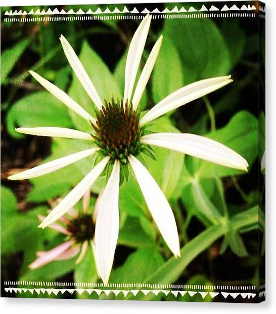Gardens Canvas Print - #coneflower Getting Ready To Open by Teresa Mucha