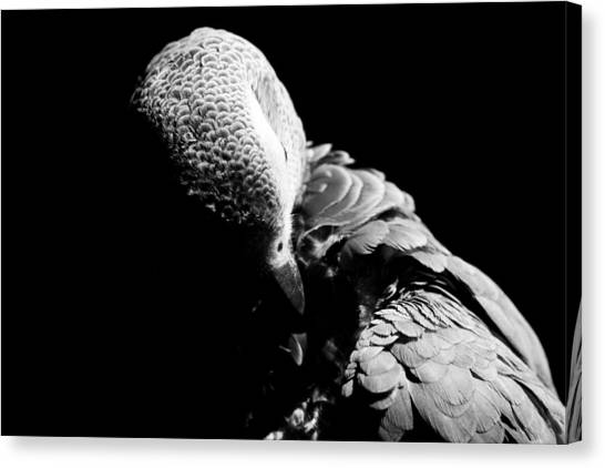 Congo  African Grey 5 Canvas Print by Paulina Szajek