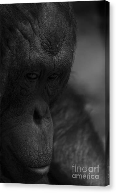 Contemplating Orangutan Canvas Print