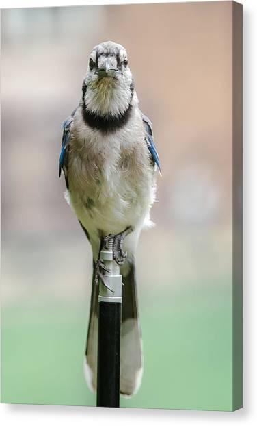Contemplative Blue Jay Canvas Print