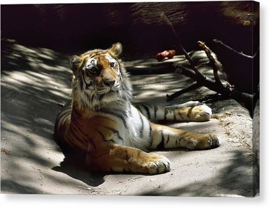 Content Tiger Canvas Print
