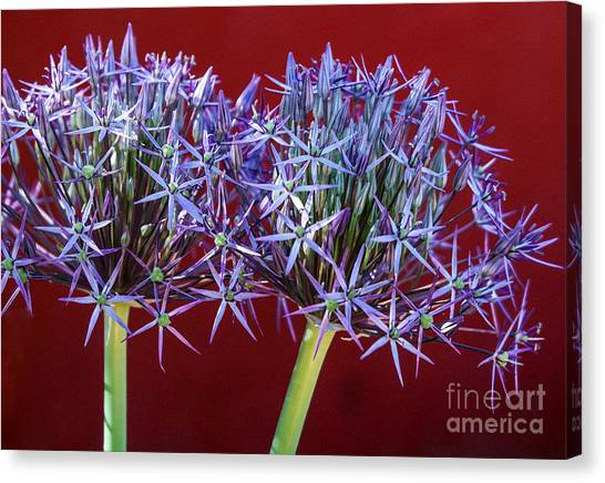 Flowering Onions Canvas Print