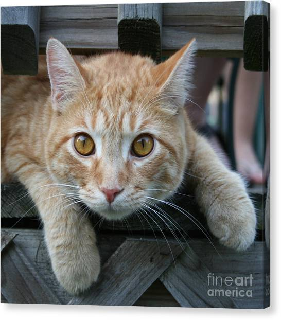 Cool Cat Named Calvin Canvas Print