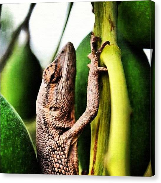Mango Tree Canvas Print - Cool Chameleon In Mango Tree In Lem by David John Weihs