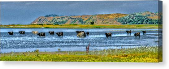Cool Cows Canvas Print by Kim Lessel