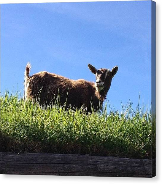 Vancouver Island Canvas Print - #coombs #goat #roof #vancouver #island by Sylvain  Giroux