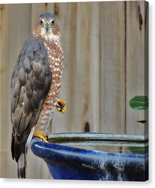 Coopers Hawk 4 Canvas Print