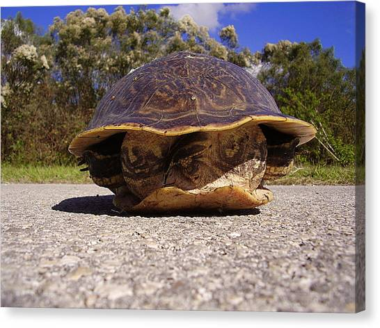 Cooter Turtle 001 Canvas Print