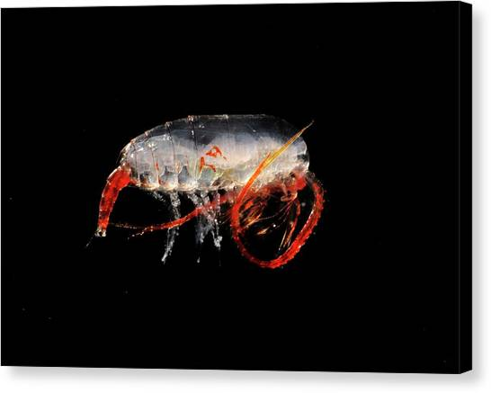 Copepod Crustacean Canvas Print by British Antarctic Survey/science Photo Library