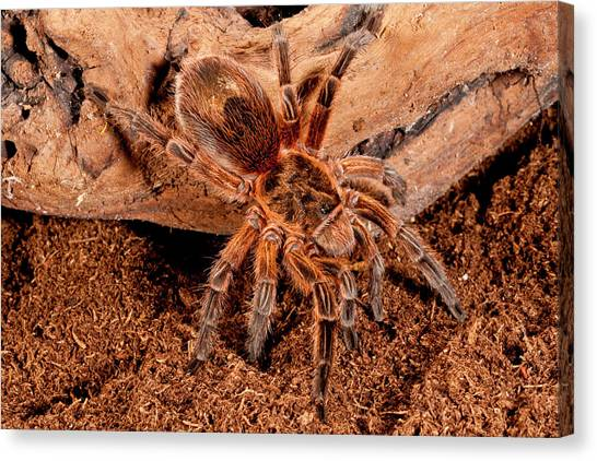 Chilean Canvas Print - Copper Pink Burst Tarantula, Paraphysa by David Northcott