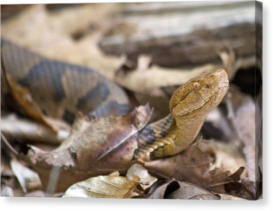 Poisonous Snakes Canvas Print - Copperhead In The Wild by Betsy Knapp