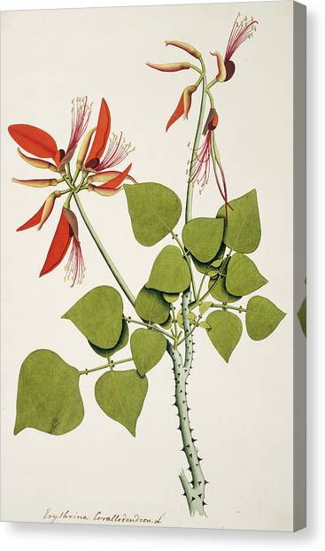 Coral Bean Tree Canvas Print by Natural History Museum, London/science Photo Library