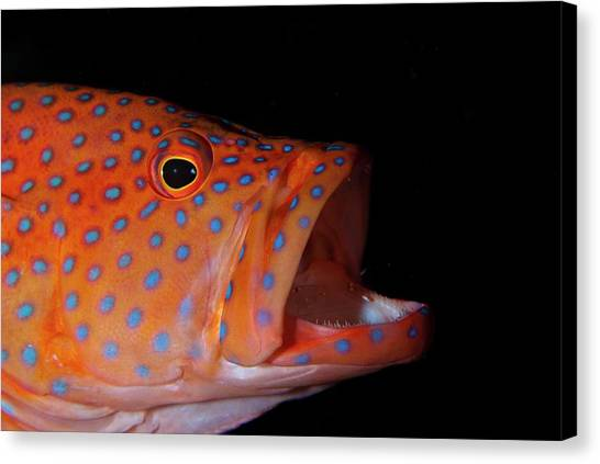 Trout Canvas Print - Coral Gouper With Shrimp In Mouth by Scubazoo
