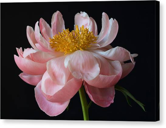 Coral Peony Canvas Print
