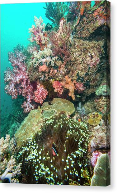 Anemonefish Canvas Print - Coral Reef With An Anemonefish by Scubazoo